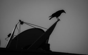 Picture bird, crow
