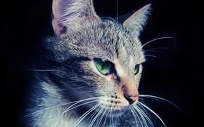 Wallpaper eyes, face, macro, Cat, wool, ears