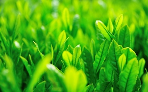Wallpaper greens, grass, leaves, the sun, macro, green, background, green, widescreen, Wallpaper, wallpaper, grass, leaves, widescreen, ...
