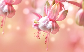 Picture macro, pink, tenderness, fuchsia