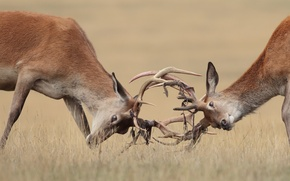 Picture nature, fight, deer