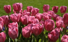 Wallpaper pink, buds, tulips