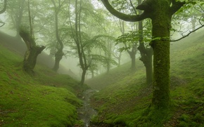 Picture forest, trees, fog, stream, moss, the ravine