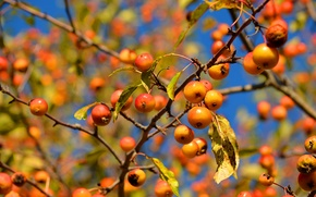 Wallpaper macro, the sky, branches, apples, leaves