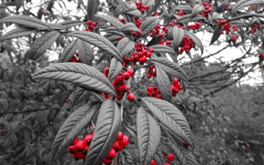 Picture leaves, berries, tree, fruit