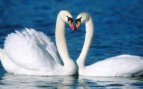 Picture water, love, birds, loyalty, pair, Swan, swans, beautiful
