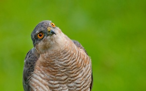 Picture look, green, background, bird, portrait, Sparrowhawk