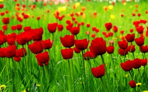 Picture field, spring, tulips, red, red, field, spring, Tulips