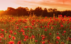 Picture field, summer, sunset, flowers, nature, England, Maki, UK