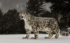 Picture snow, leopard, Snow Leopard