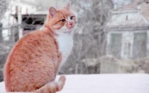 Wallpaper cat, animal, red, cat, cat