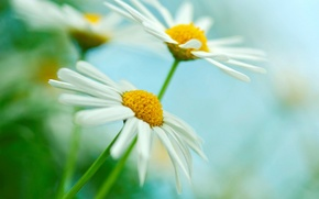 Picture white, macro, flowers, yellow, green, background, widescreen, Wallpaper, chamomile, blur, Daisy, wallpaper, flowers, widescreen, background, …