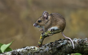Picture mouse, tail, animal, mouse, baby