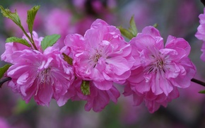 Picture flowers, cherry, branch, petals, Sakura, pink, buds