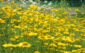 Picture field, grass, nature, petals, Daisy, meadow