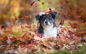 Picture autumn, look, leaves, dog, Australian shepherd, Aussie