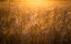 Picture field, summer, ears
