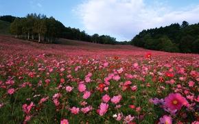 Picture field, trees, flowers, kosmeya