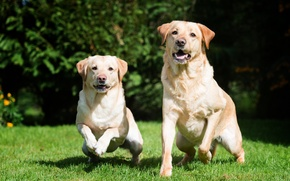 Picture grass, dog, pair, Labrador, dog