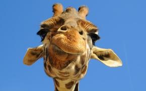 Picture the sky, face, giraffe