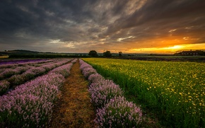 Picture field, sunset, flowers, nature, England, the evening, UK, lavender, Hampshire