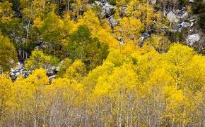 Picture autumn, forest, leaves, trees, stones, slope, Colorado, USA, aspen, Aspen