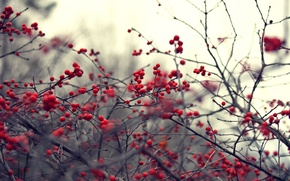 Wallpaper branches, nature, berries, background, branch, Wallpaper, plant, blur, red