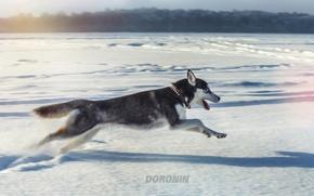 Picture winter, snow, jump, dog, running, husky, photographer, Denis Doronin