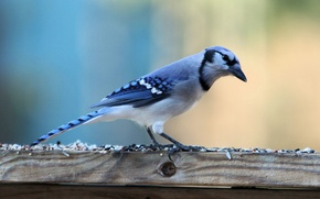 Picture bird, is, blue Jay