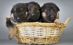 Picture dogs, basket, puppies