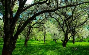 Picture flowers, spring, Apple, flowering tree, white flowers, blooming Apple tree, Apple orchard, a lot of ...