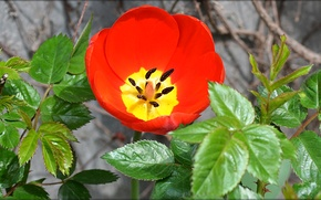 Picture flower, leaves, red, color, Tulip, spring, bowl, petals, stamens