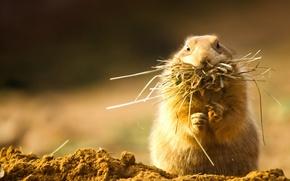 Picture grass, fluffy, hay, rodent, cheeks, Prairie dog