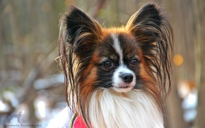 Picture Dog, cutie, Papillon, male.
