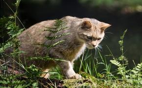 Wallpaper predator, wild cat, hunter, sneaks