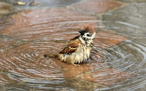 Wallpaper water, wet, bird, puddle, bathing, Sparrow