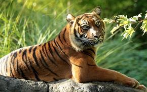Picture tiger, predator, branch, wild cat, Sumatran tiger