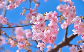 Picture flowers, nature, beauty, spring, Sakura