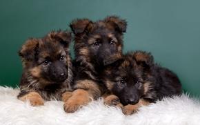 Picture puppies, kids, trio, shepherd