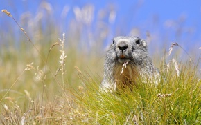 Picture grass, spikelets, marmot, rodent, Alpine