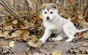 Picture autumn, leaves, Dog, puppy, Laika