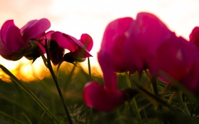 Picture Purple, Grass, Flower, Green, Sunset, Autumn, Sunshine, Dusk