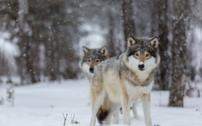 Picture eyes, snow, trees, wolves, trees, eyes, bokeh, bokeh, wolves, snowing