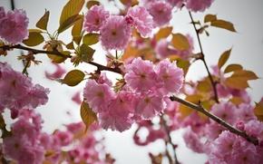 Picture Flowers, pink, flowering, pink, flowers, flowering
