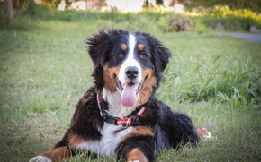 Picture dogs, spring, puppy, Bernese mountain dog, mountain dog