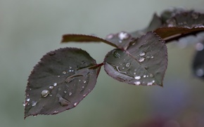 Picture leaves, water, drops, macro, branch