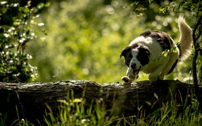 Picture dog, log, The border collie