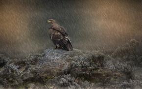 Picture rain, bird, predator, eagle