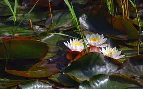 Picture Lily, pond, water lilies, Nymphaeum