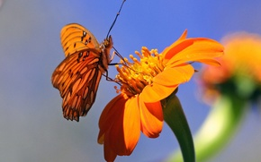 Picture flower, background, butterfly, orange